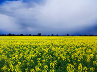 Storm approaching over a canola crop